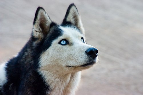 Husky-siberian-huskies-35540699-500-335